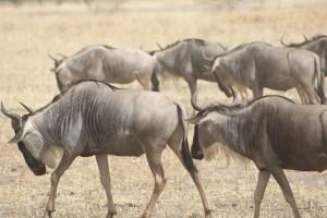 wildebeest-1510901_960_720 (1)