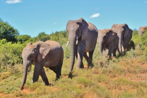 african-bush-elephant-463283_960_720